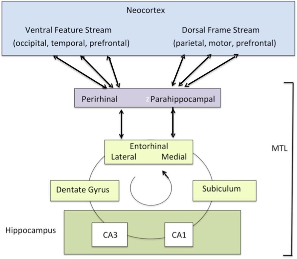 """Neocortex: Global Workspace Dynamics: Cortical """"Binding"""