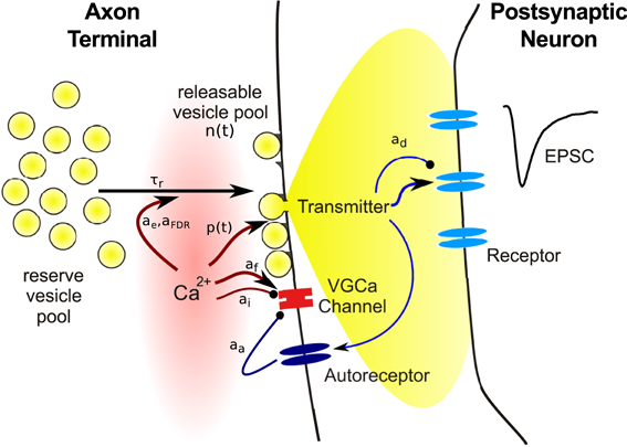synaptic transmission The transmission of information is accomplished in two ways:  of the axon, a  chemical is released that travels across the synaptic cleft to the next neuron to  alter.