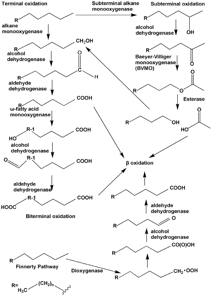 microbial hydroxylation of steroids