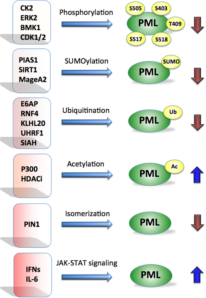 Pml Protein Proteins Affect Pml