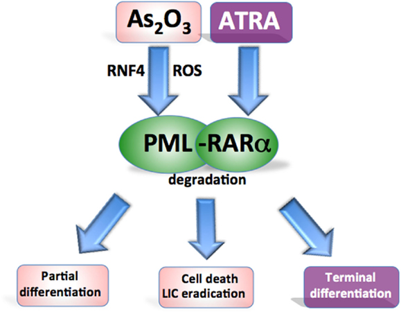 Pml Protein Pml-rarα Fusion Protein