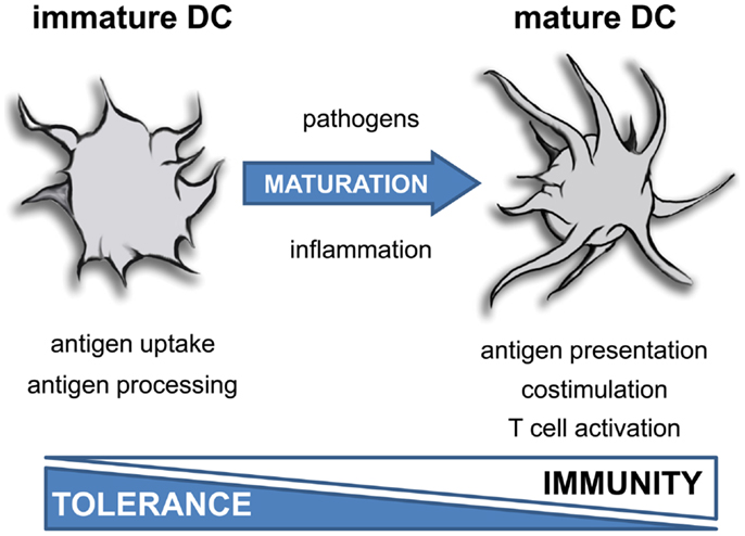 immature dendritic cells - photo #1