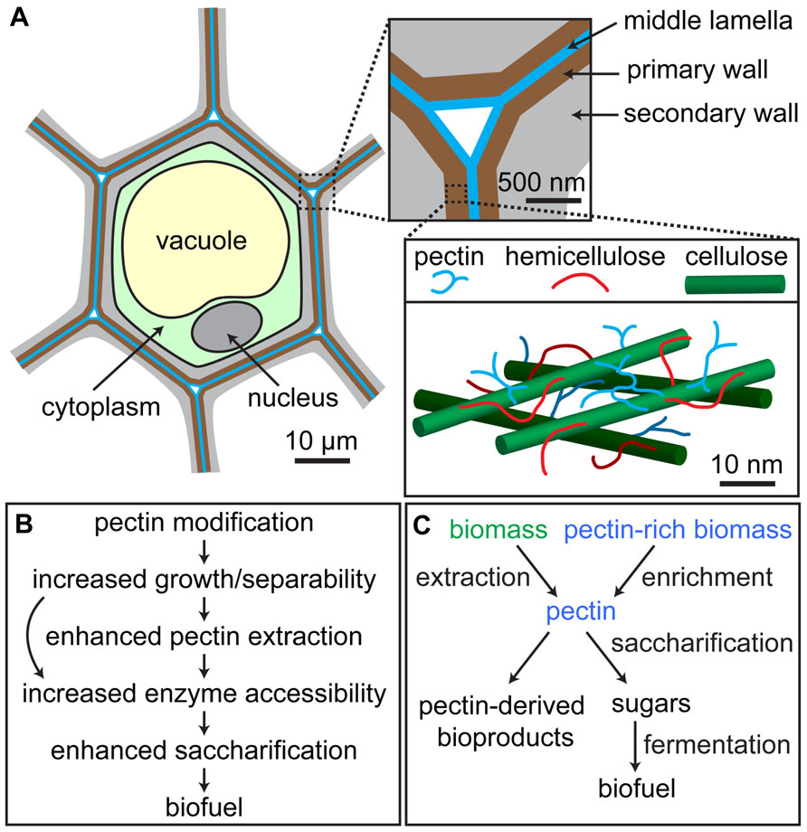 frontiers roles of pectin in biomass yield and