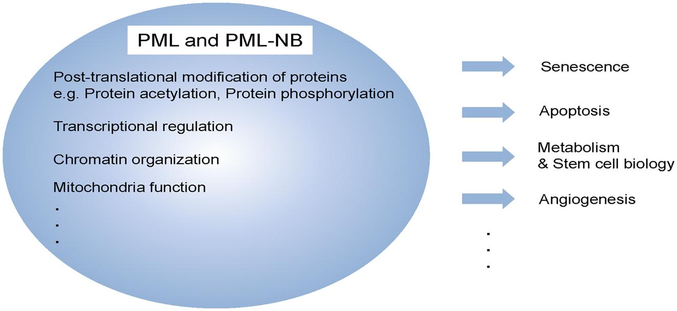 Pml Protein Multi-functional Protein Pml
