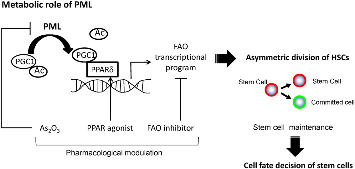 Acetylation is a key process in cell self regulation