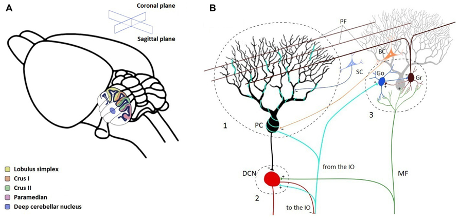 Frontiers Linking Oscillations In Cerebellar Circuits