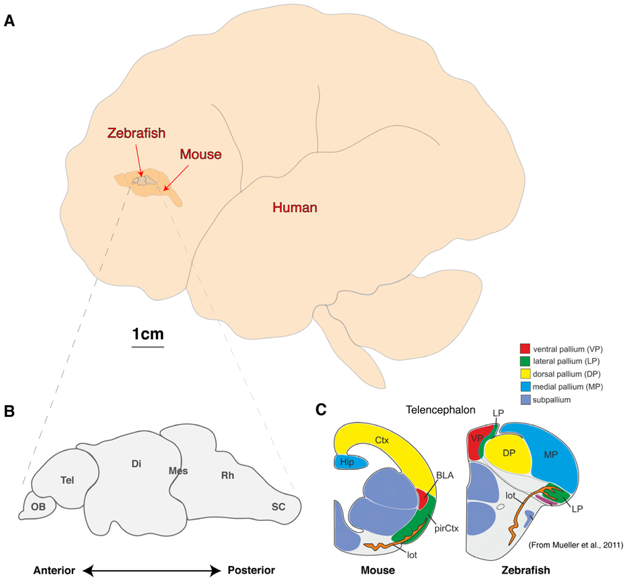 a comparison of articles discussing synapses in the brain It's not just your thoughts that can alter your brain and shift those synapses  not really a equal comparison given average-to-good conditions, yes, most .