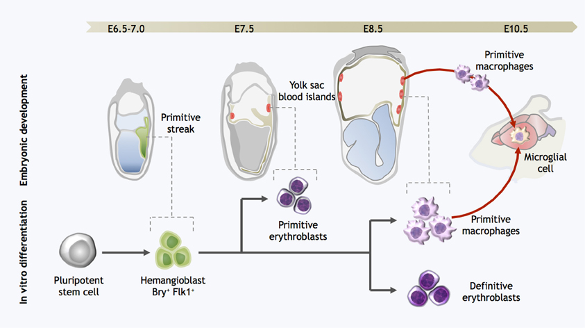Moving Toward Harnessing Microglia to Improve Human HealthMouse Yolk Sac