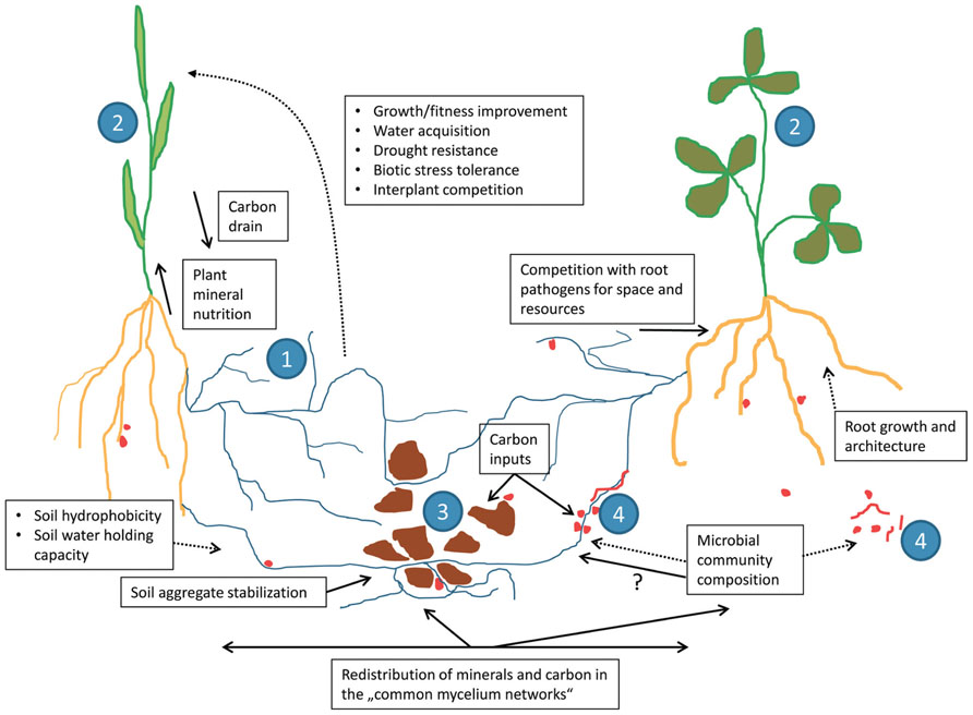 Frontiers | Mycorrhizal hyphae as ecological niche for highly ...