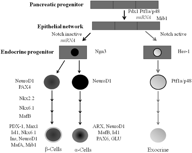 Frontiers Endocrine Pancreatic Development Impact Of