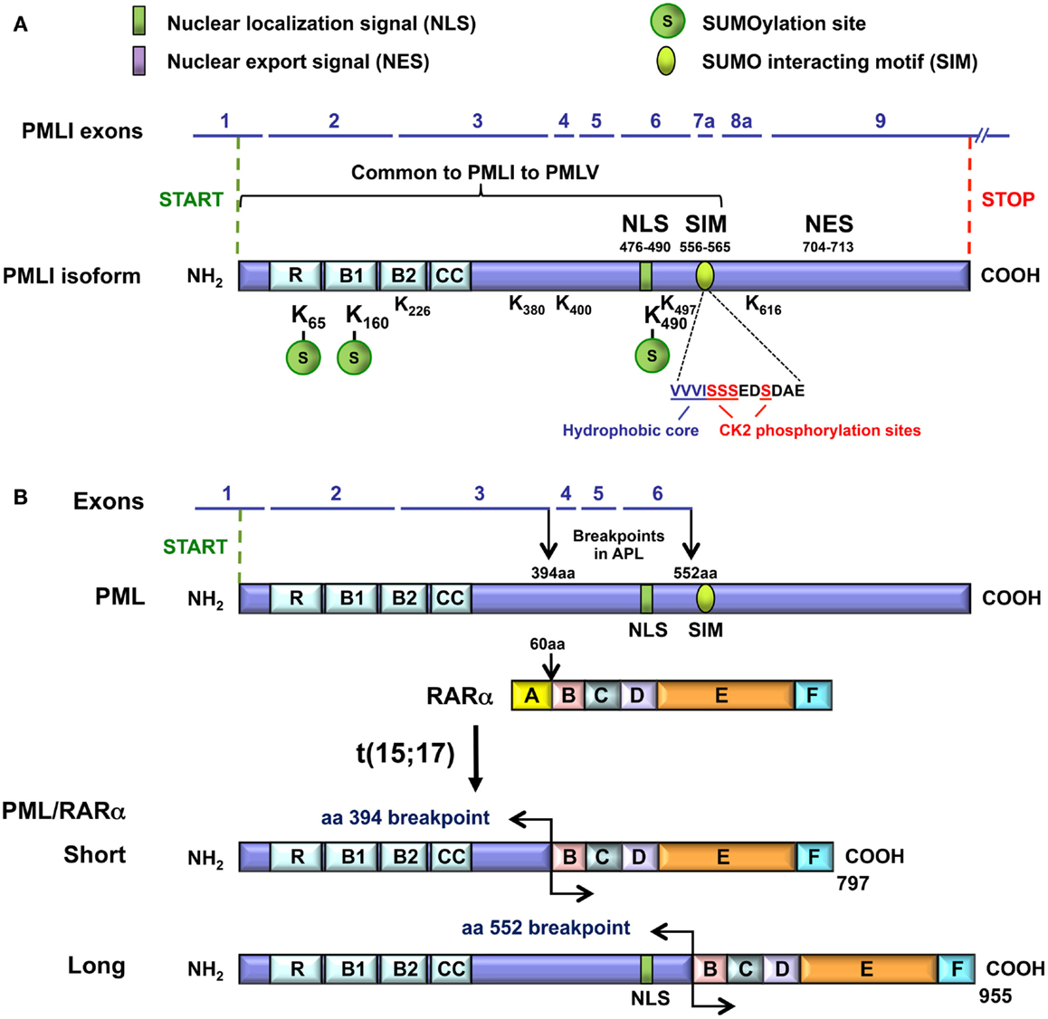 Pml Protein And The Pml-rarα Proteins