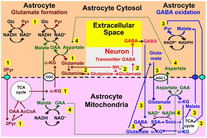 「gaba metabolism pathway glutamate」の画像検索結果