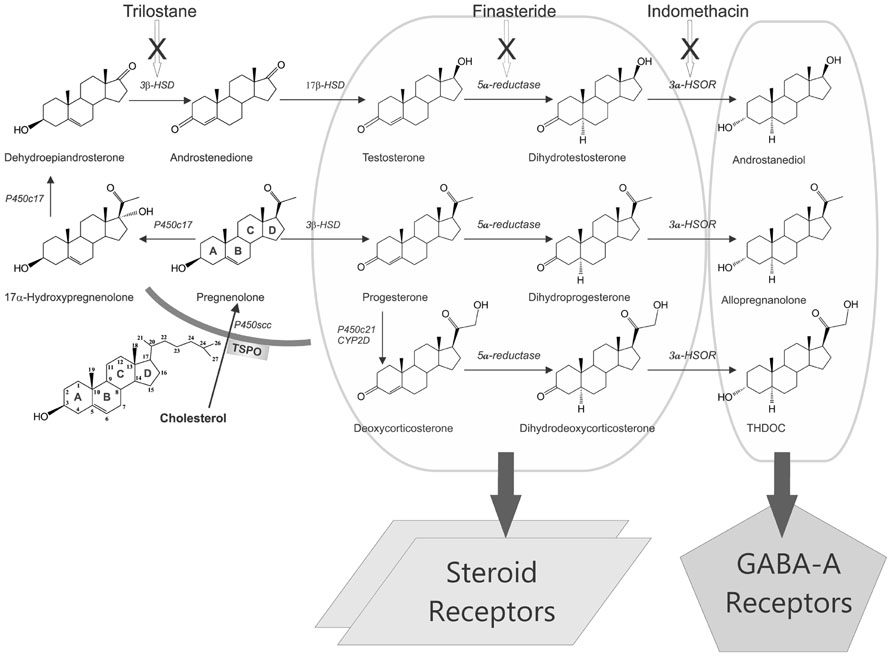 biosynthesis of ovarian steroids