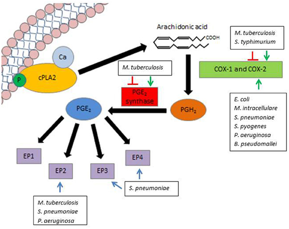 arachidonic acid pathway corticosteroids