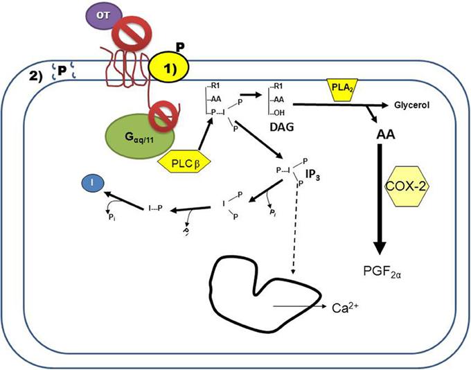 progesterone on sperm function effects receptor