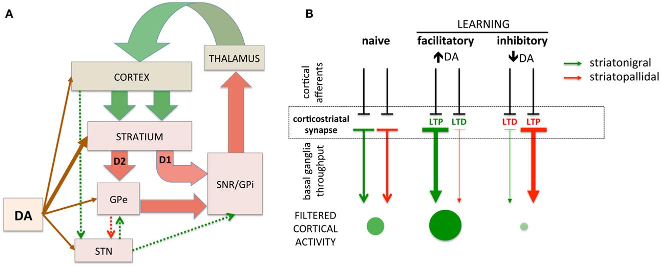 Dopamine Receptors Parkinsons Disease And d2 dopamine receptors Dopamine Receptors Parkinsons Disease