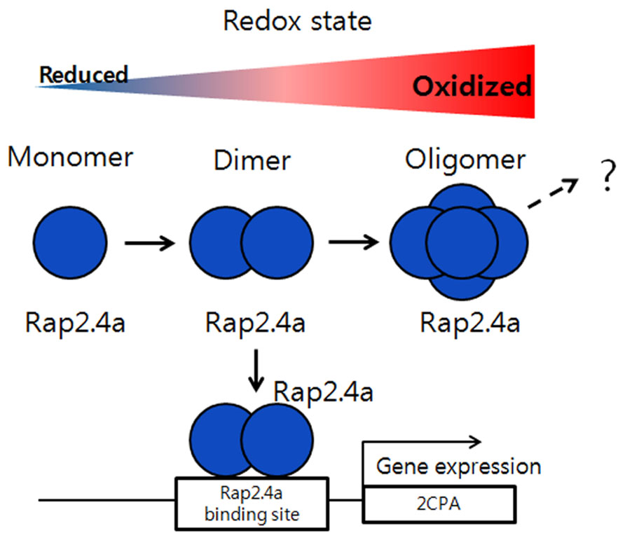 4a through redox changes under oxidizing conditions rap2 4a changes