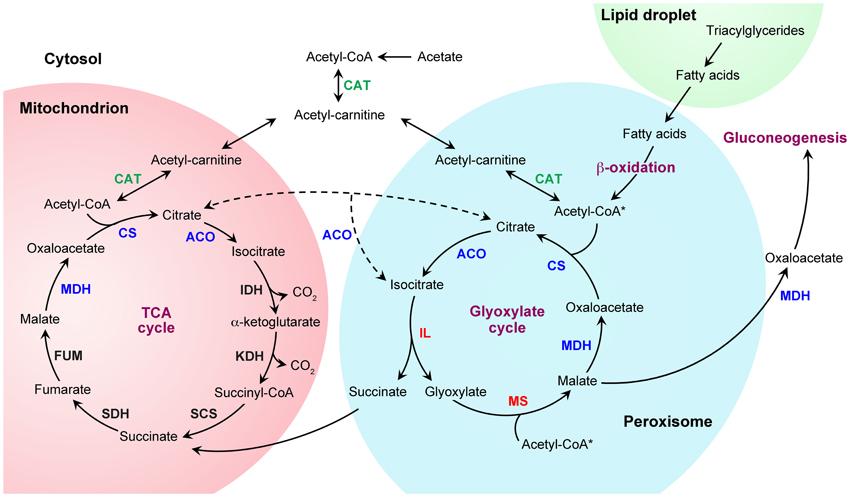 beta oxidation of fatty acids steps pdf