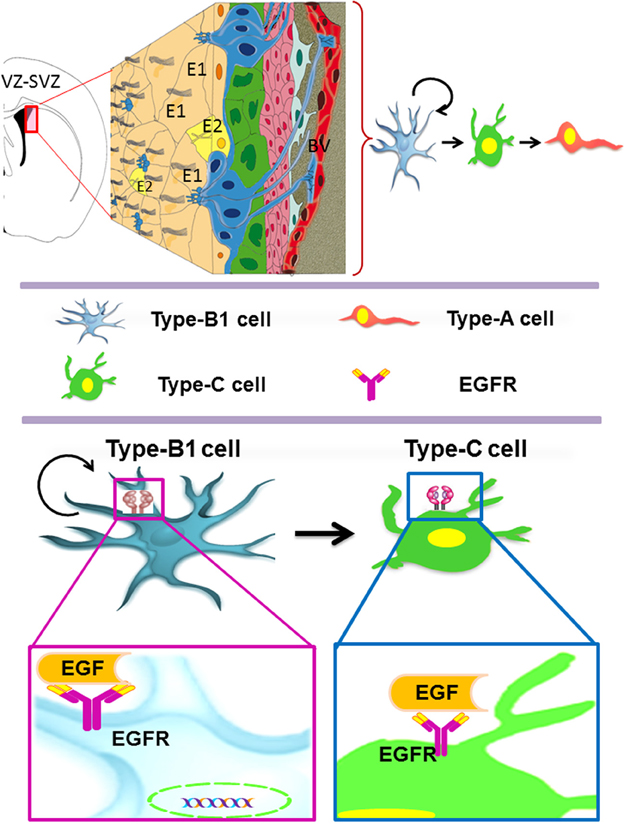 neural stem cell niche and the egfr protein Abstract in the adult brain, the neural stem cell (nsc) pool comprises quiescent and activated populations with distinct roles transcriptomic analysis revealed that quiescent and activated nscs exhibited differences in their protein homeostasis network.