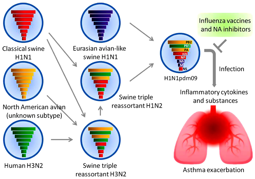 A H1N1 pdm09 virus and asthma   H1n1 Virus Images