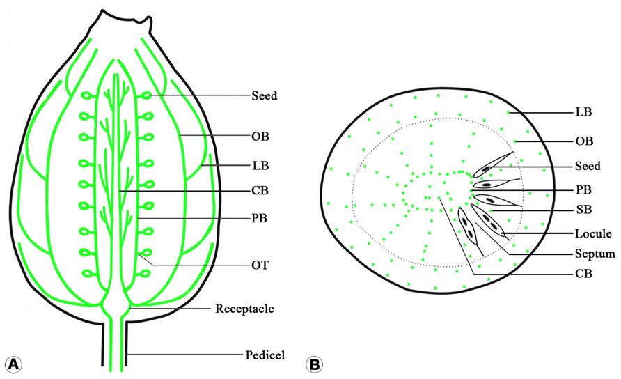 Development of ovule, embryo sac, and endosperm in Triteleia ...