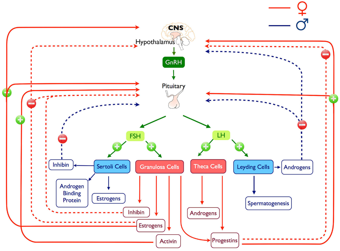 regulation of testicular steroidogenesis