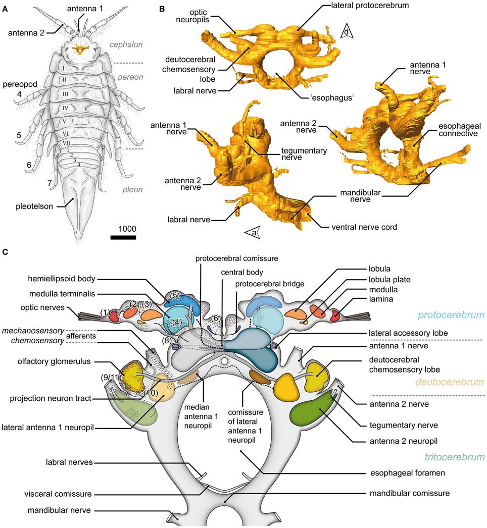 Anatomy of a pill bug