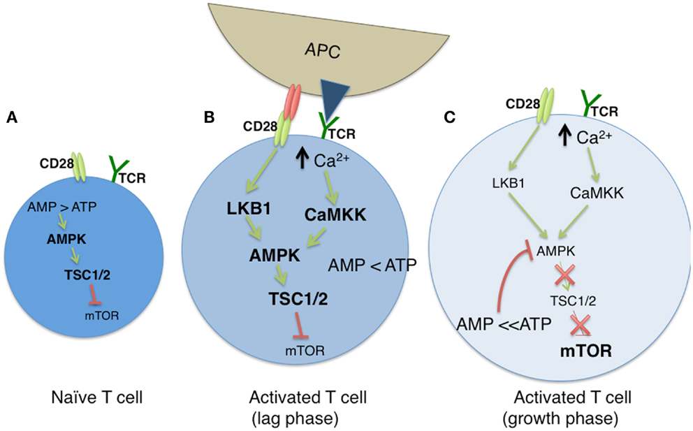 anabolic processes in a cell are required for