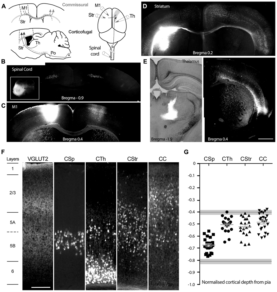 Frontiers Diversity Of Layer 5 Projection Neurons In The
