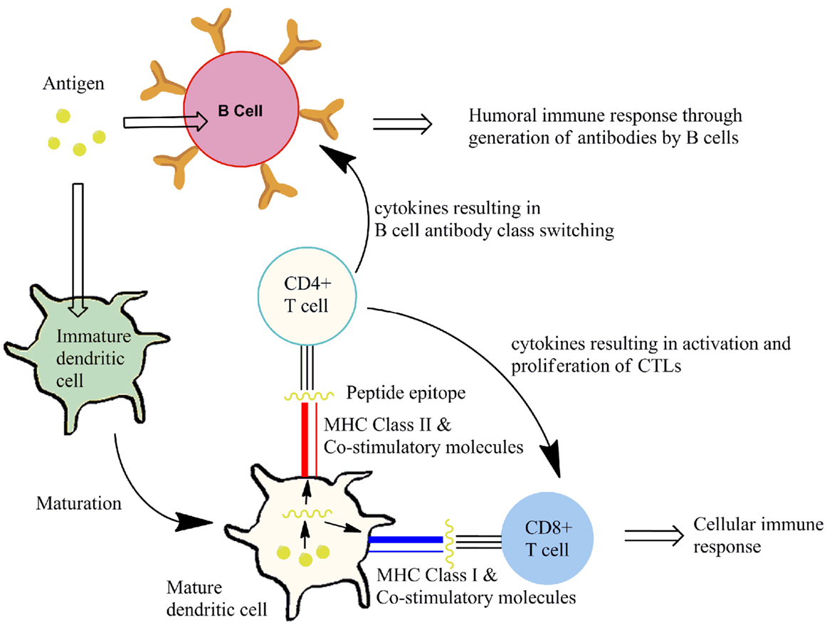 Frontiers Immunostimulation By Synthetic Lipopeptide
