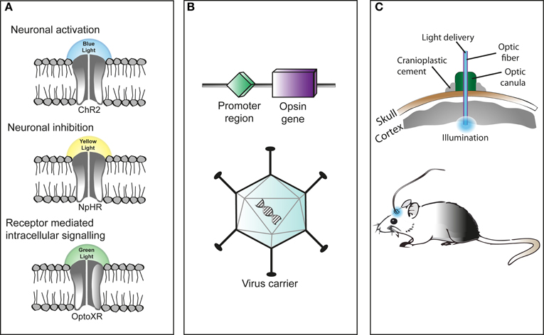 Frontiers Optogenetics As A Neuromodulation Tool In