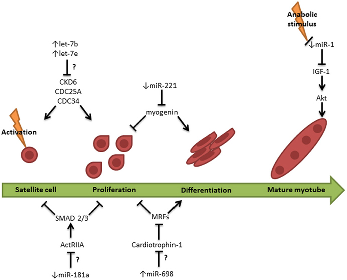 Frontiers | MicroRNAs in skeletal muscle and their ...