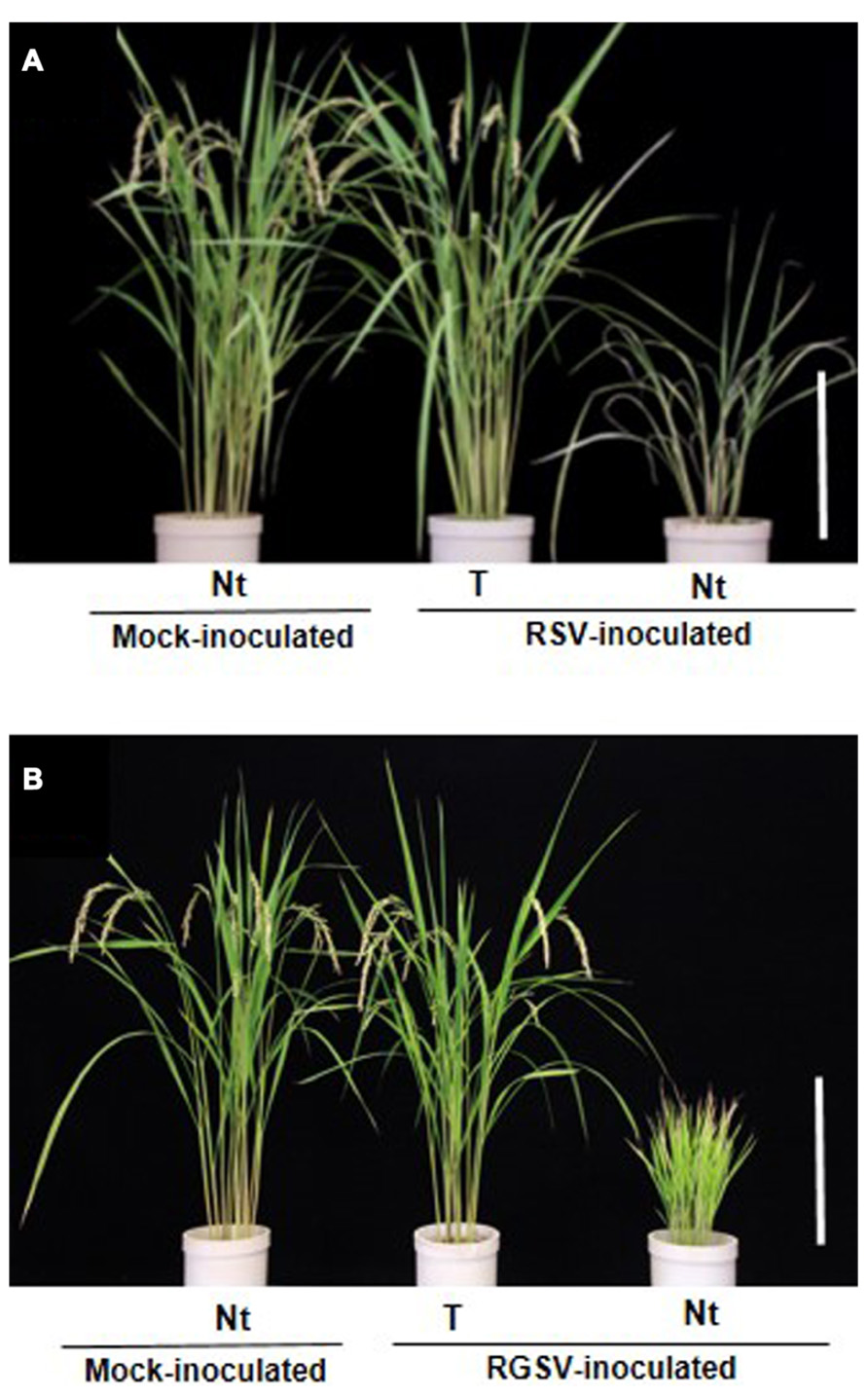 transgenic plants for enhanced biodegradation and Hence, the idea to enhance plant biodegradation by genetic transformation was developed, following a strategy similar to that used to develop transgenic crops 1 eapen, s.