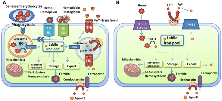 airway remodelling and its relationship to inflammation in cystic fibrosis