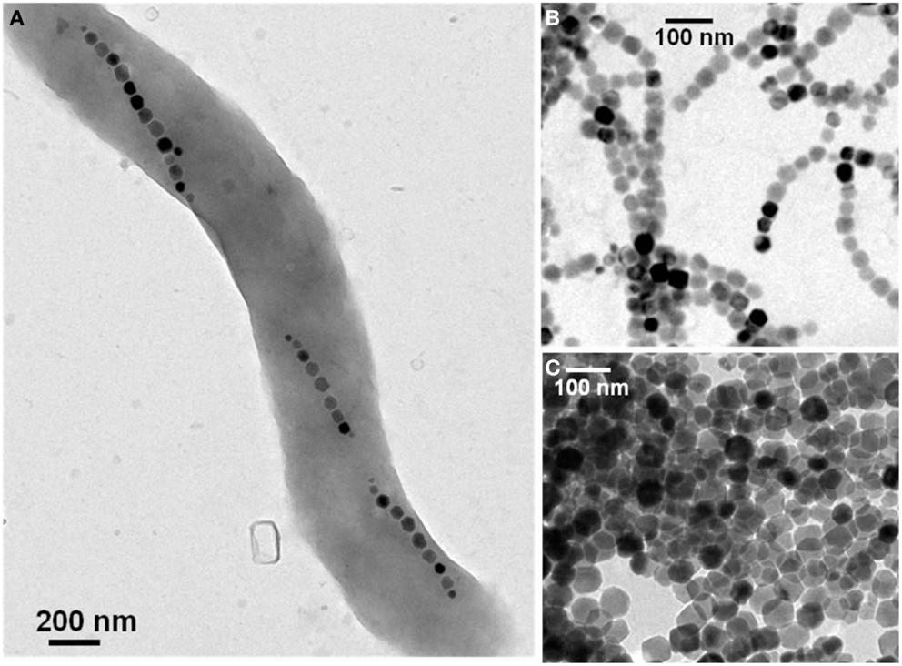 bacterial magnetosomes synthesized by magnetotactic bacteria Genome sequencing of the magnetic sulfate-reducing bacterium d  up till now,  the genes related to the synthesis of magnetosomes are.