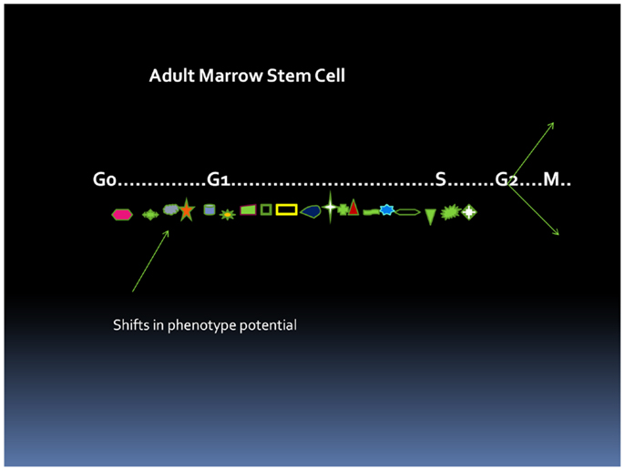 stem cell revisited 2013 bentham science publishers perinatal stem cells revisited: directions  and indications at the crossroads between tissue regeneration and repair.
