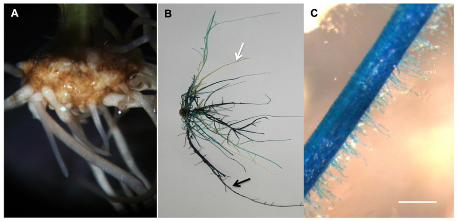 agrobacterium rhizogenes Induction of hairy roots by various strains of agrobacterium rhizogenes in different types of capsicum species explants.