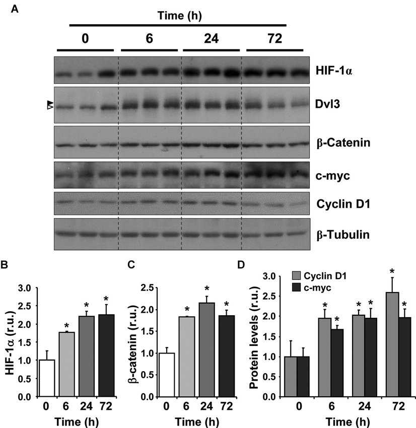 Frontiers | Chronic hypoxia induces the activation of the Wnt/� ...