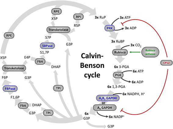 Frontiers | Redox regulation of the Calvin–Benson cycle ...