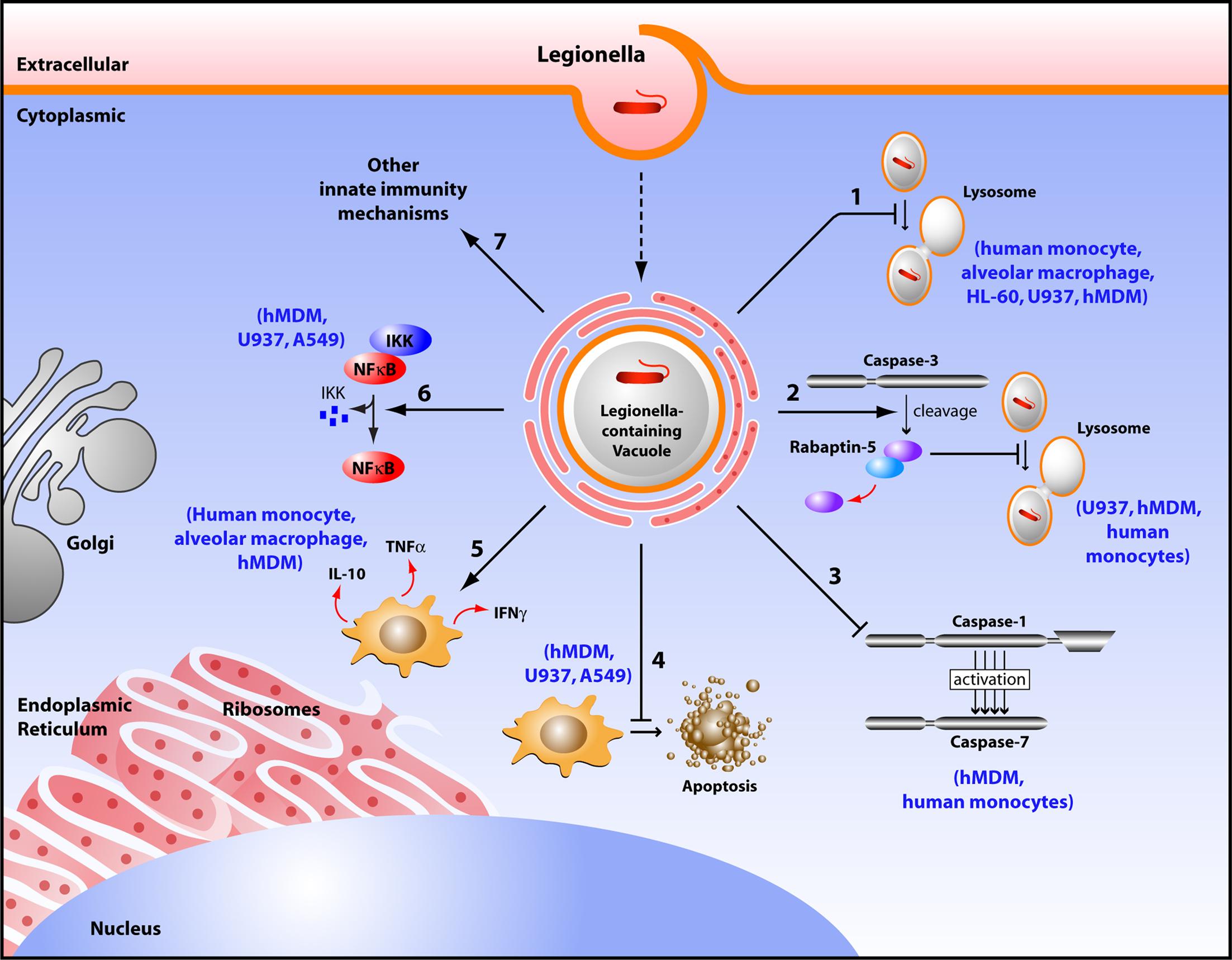 Frontiers | Replication of Legionella Pneumophila in Human Cells ...