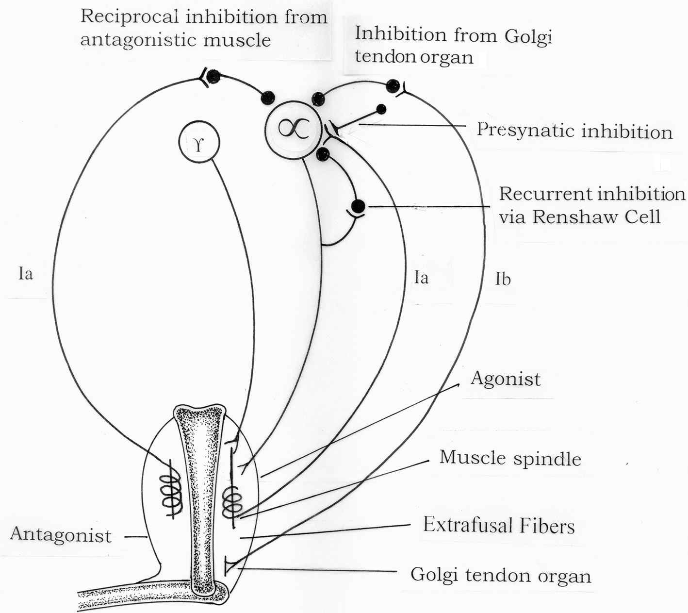 frontiers | spasticity mechanisms – for the clinician | neurology, Skeleton