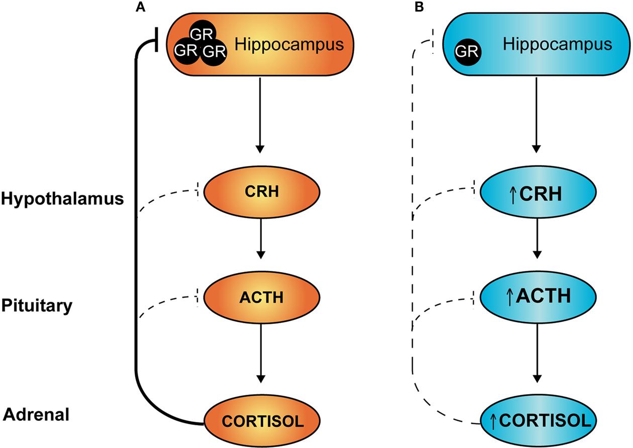 corticosteroid receptors in hippocampus