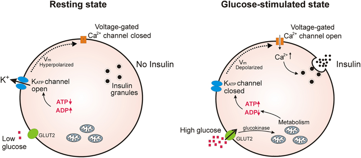 Инсулин калий