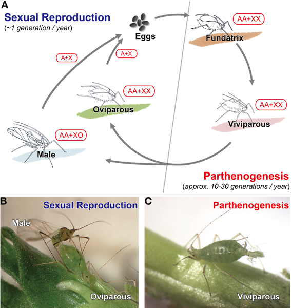 frontiers aphid polyphenisms trans generational