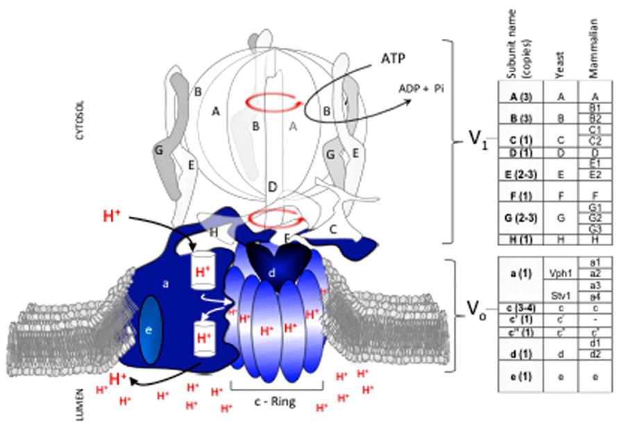 Proton Pump Structure The V-atpase Proton Pump