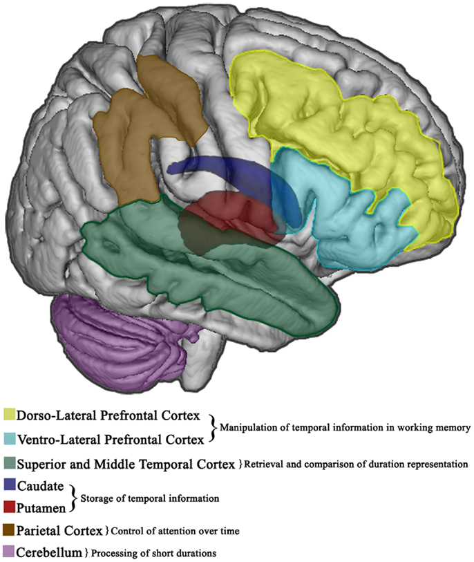 Subcortical Structures of The Brain Cortical And Subcortical Brain