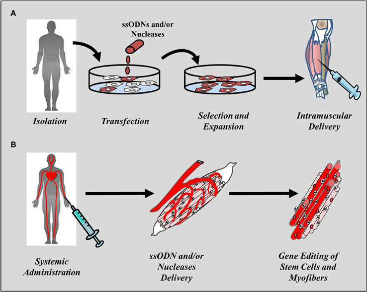 frontiers | emerging gene editing strategies for duchenne muscular, Muscles