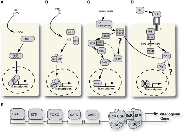 ecdysteroid signaling pathway