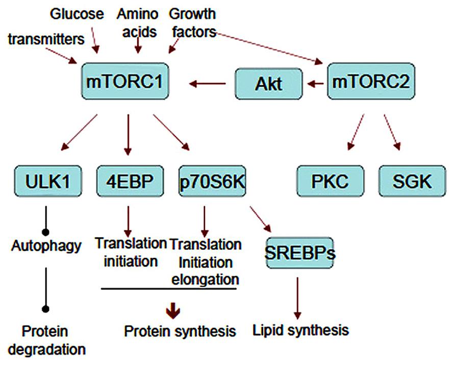 anabolic metabolism examples