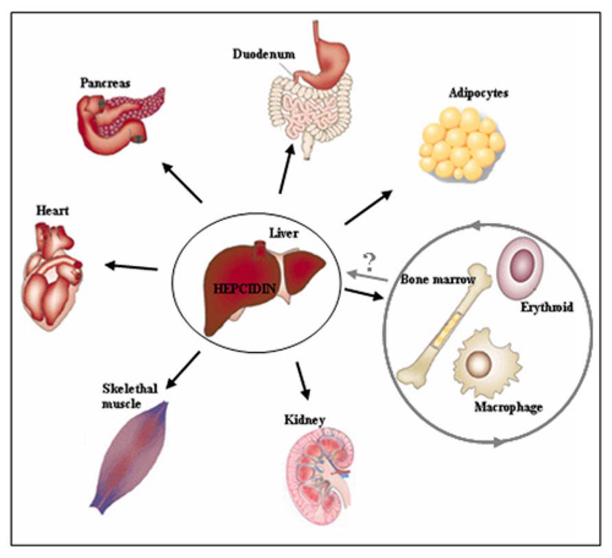 liver homeostasis Hepatic fcrn regulates albumin homeostasis and susceptibility to liver injury  michal pyzik, timo rath, timothy t kuo, sanda win, kristi baker.